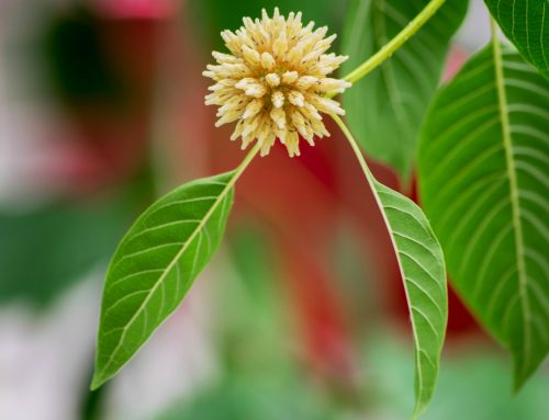 Choose Your Kratom Products for Desired Effect